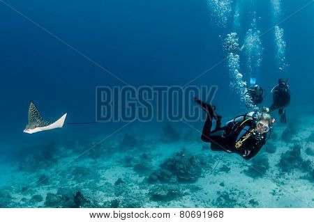 Baby Eagle Ray And Scuba Divers