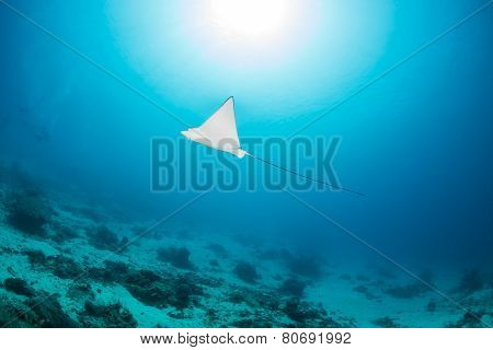 Eagle Ray And Sunburst