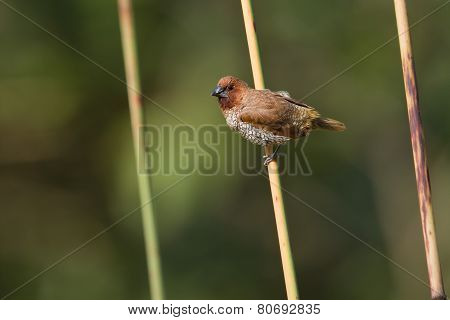 scaly breasted munia at Bardia national park, Nepal