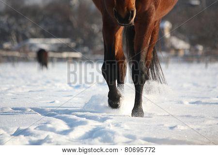 Brown Horse Walking Through The Snow