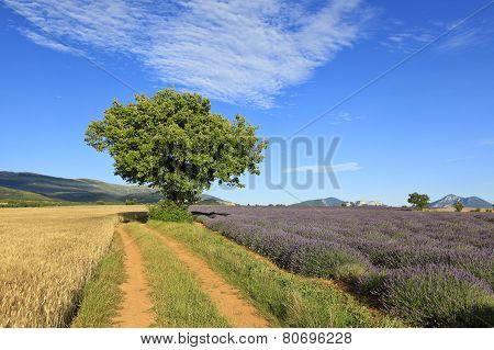 lavender and wheat fields