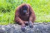 picture of orangutan  - Orangutan adult in the Sumatra island - JPG