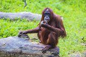 image of orangutan  - Orangutan adult in the Sumatra island - JPG
