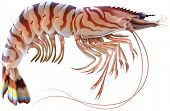 pic of tiger prawn  - Tiger prawn - JPG