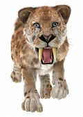 pic of animal teeth  - 3D digital render of a trotting smilodon or a saber toothed cat isolated on white background - JPG