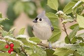 pic of holly  - Tufted Titmouse  - JPG