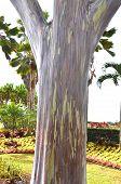 stock photo of eucalyptus trees  - Trunk of a Mindanoa gum tree rainbow eucalyptus  - JPG