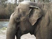 stock photo of elephant ear  - a big elephant with small ear and  - JPG