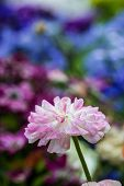 foto of buttercup  - pink persian Buttercup Flower  - JPG