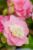 stock photo of begonias  - Numerous bright pink flowers of tuberous begonias  - JPG