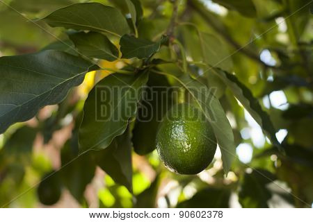 Avocado Growing On Tree