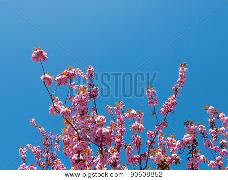Pink tree blossom and blue sky.