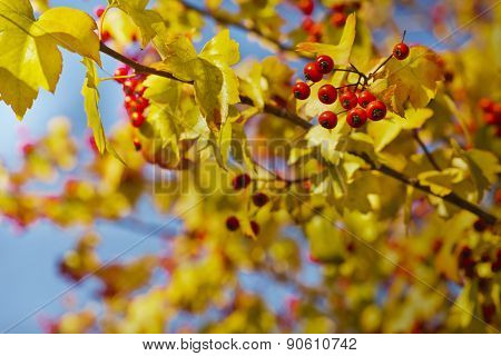 Fall background with yellow leaves, red berries in front of blue sky background, autumn tree