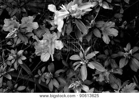 Azalea Bush In Black And White With Caterpillar