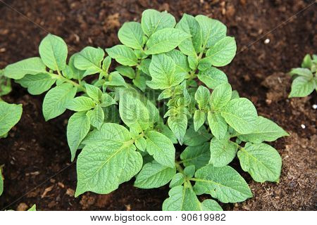 Potato Leaves