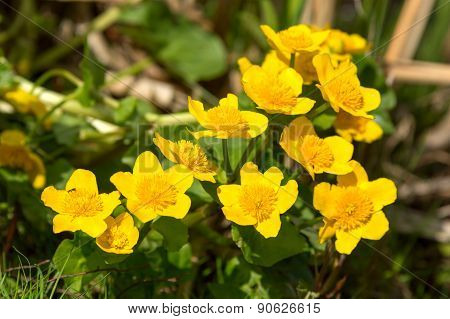 Marsh-marigold Or Kingcup (caltha Palustris)