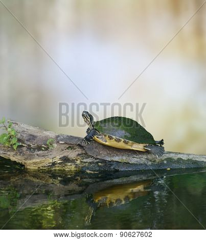 Florida Cooter Turtle On A Log