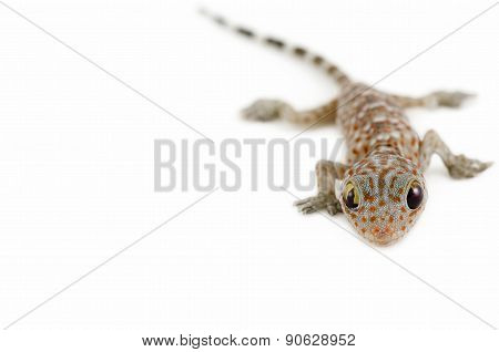 Gecko On White Background
