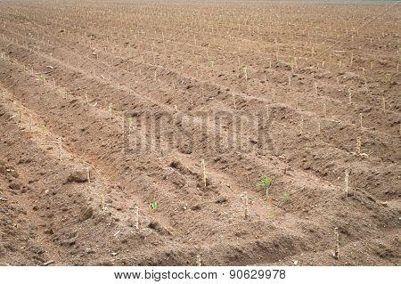 Casava Farm