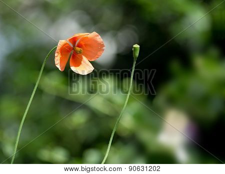 Poppy flower and bud