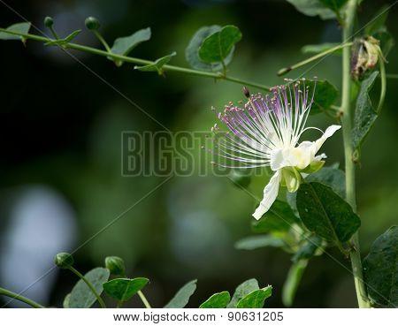 Caper bush blossoming