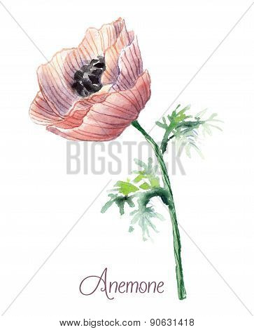 Delicate watercolor anemone .