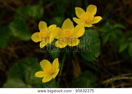 Globe-flower Adorns The Floods In May Deciduous Forest Wildlife