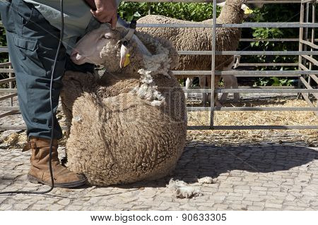 Shearing Sheep With Clipper
