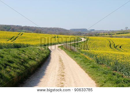 Windng Road Ahead Meandering Through Yellow Rape Seed Crops