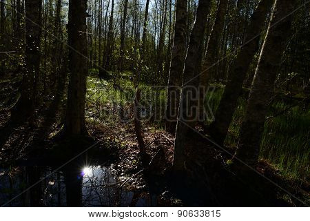 Sunbeam Reflection In The Water At High Water In The Spring Birch Forest