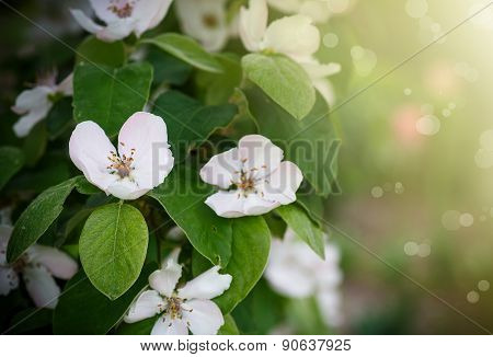 Quince Flower