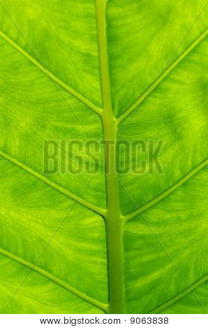 Philodendron Leaf Up Close