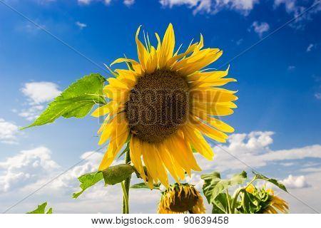 Flower Of Sunflowers