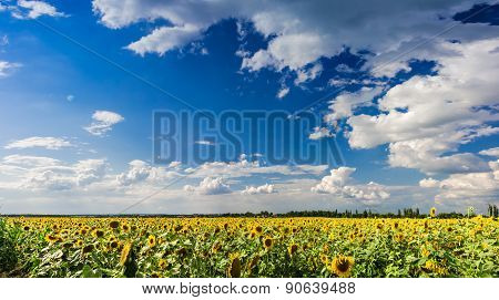 Sky Over Sunflowers