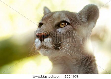 Cougar Portrait