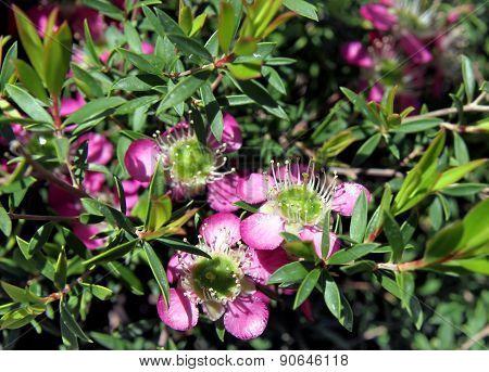 Ornamental shrub Leptospermum