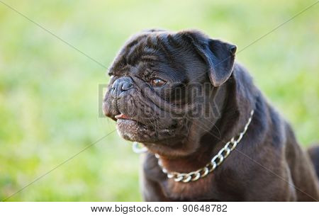 Little black dog in the park with a metallic collar