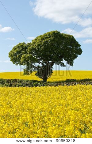 Green Tree In Bright Yellow Rapeseed Fields