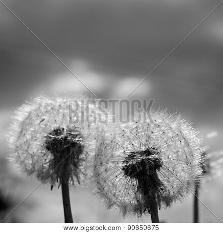 Two Black White Dandelion Blow Balls