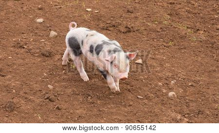 Spotted piglet with black spots