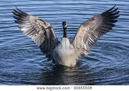 Canadian Goose Stretching
