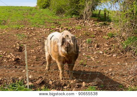 Pig looking to camera with black spots