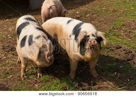 Two pigs with black spots