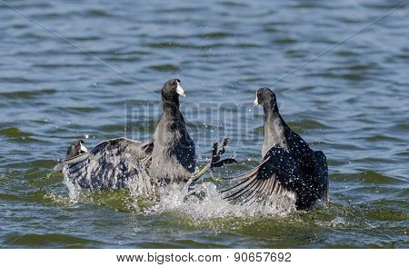 Two American Coots Fighting