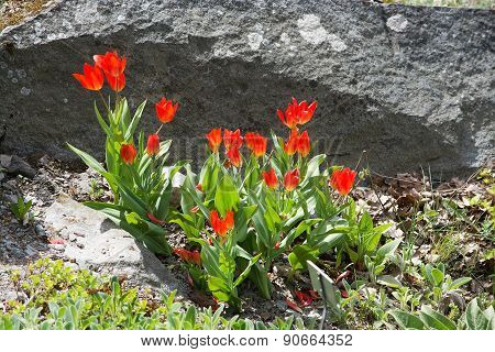 Red tulips in rock crevice