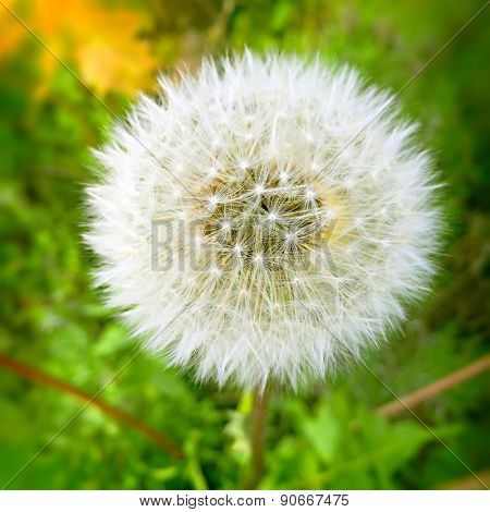 Fine grown dandelion seed head detail