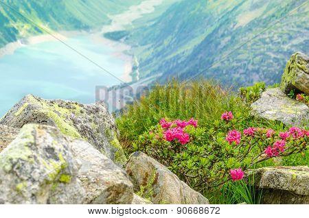 Beautiful alpine landscape flowers Alps, Austria