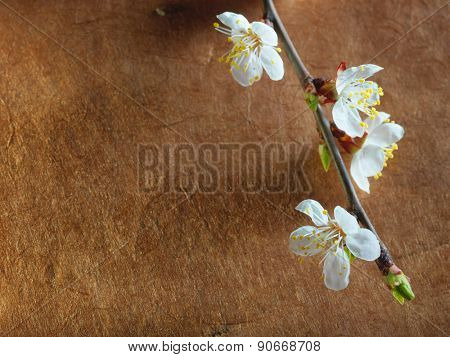 Beautiful pink cherry blossom on a brown background.Close up