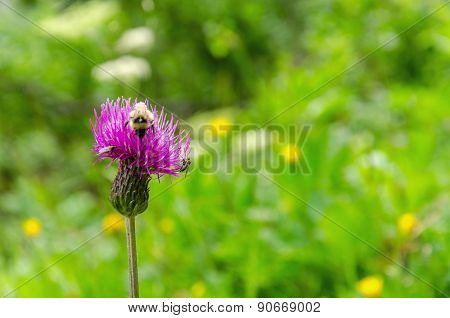 Bee collects pollen from a purple flower