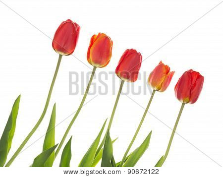 Red Tulips On The Diagonal